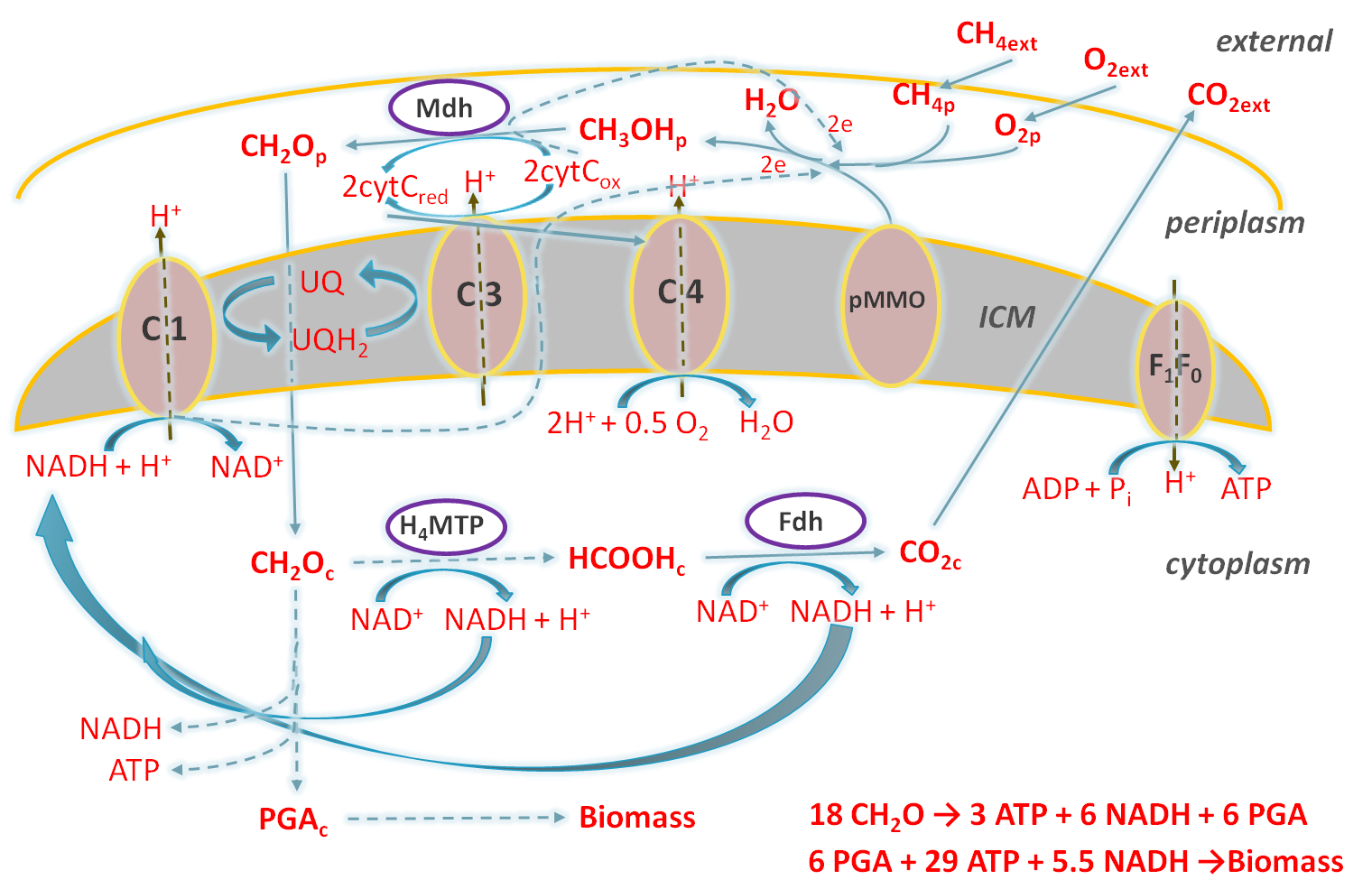 Pathway of methane utilization in M.alcaliphilum 20Z cell